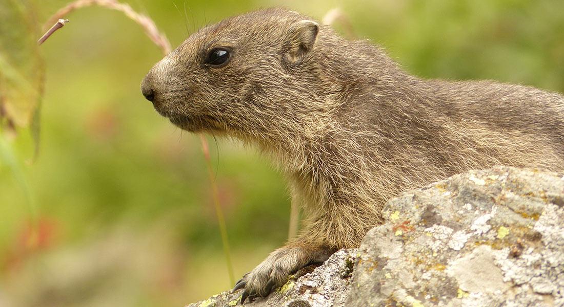 Villa-Riviera-marmotte